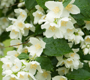 'jasmine scent' from the web at 'http://www.aromatherapy.com/images/Jasmine_scent.jpg'
